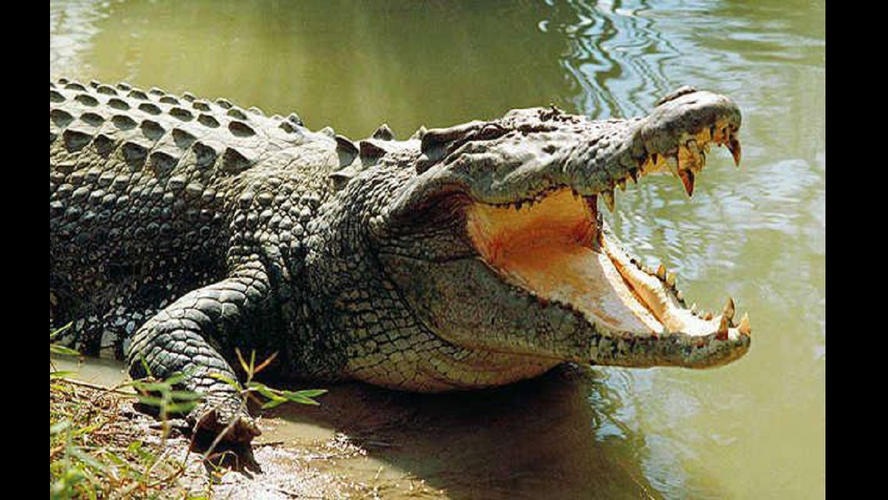 Crocodiles are reportedly on the move in Greater Portmore