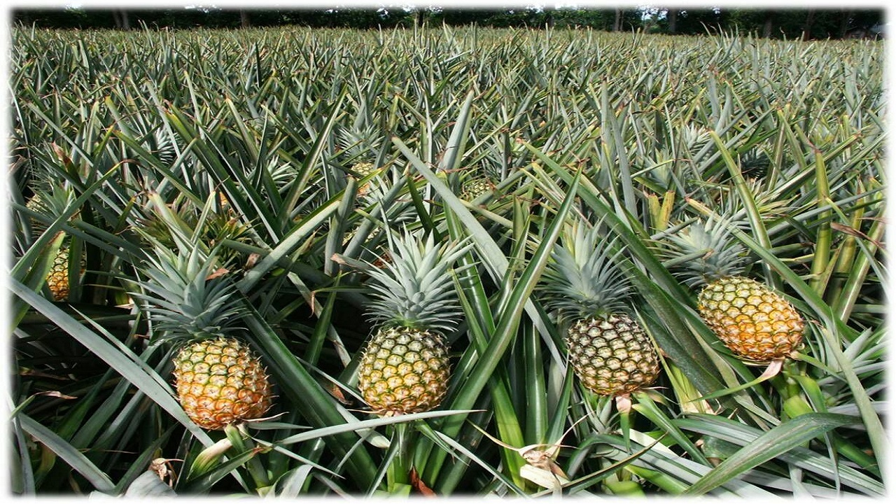 Nearly 200 pineapple farmers learnt ways to achieve maximum yields, while lowering production costs.