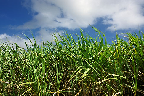 Canefield in St. Lucy. (Photo: David Sager)