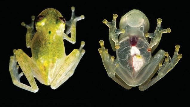 De doorschijnende huid laten verschillende organen duidelijk zien.