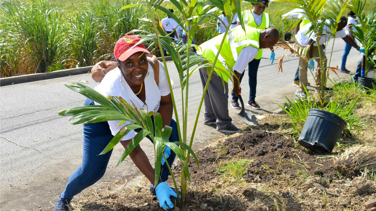 1.Mount Gay staff member Ambadeen Watson planting palm trees along the entrance to the Mount Gay Village in St. Lucy as part of the company's ongoing Corporate Social Responsibility Campaign.