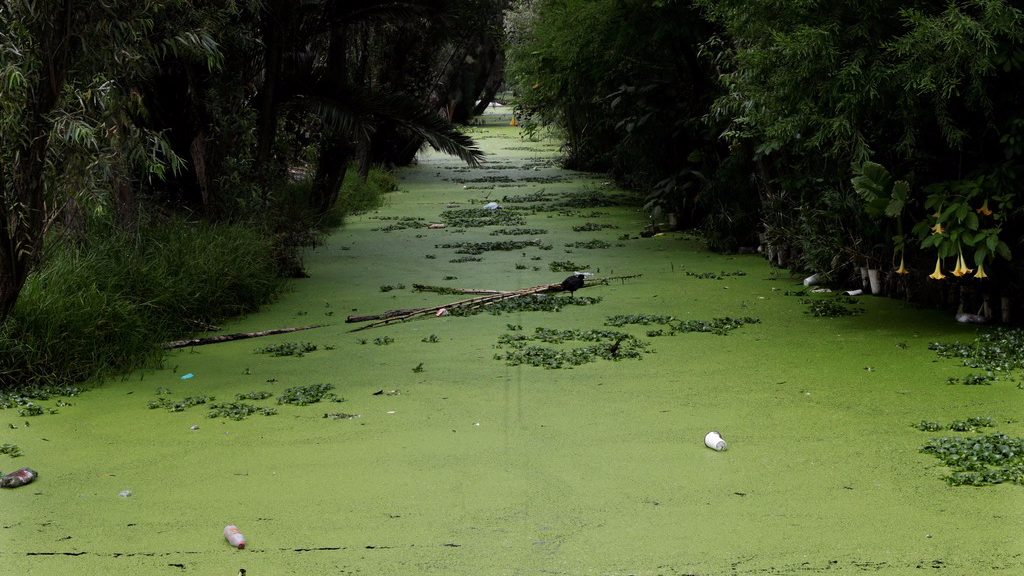 "n this June 27, 2017 photo, a green layer of sludge covers a canal in Xochimilco, in Mexico City. A late July report by the Universidad Autonoma Metropolitana (UAM), in collaboration with local NGO Controla tu Gobierno, indicates that most of the water being fed into Xochimilco's canals comes from a water treatment plant known as Cerro de la Estrella, whose output contains ""a high level of fecal coliform that indicate sewage."" (AP Photo/Marco Ugarte)"