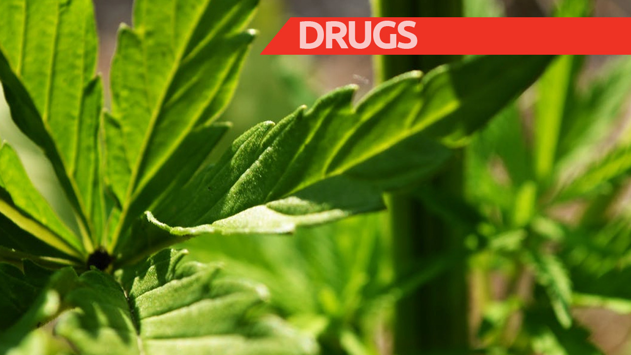 A total of 984 cannabis plants were seized.