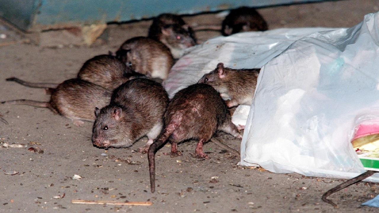 Rats (AP file)