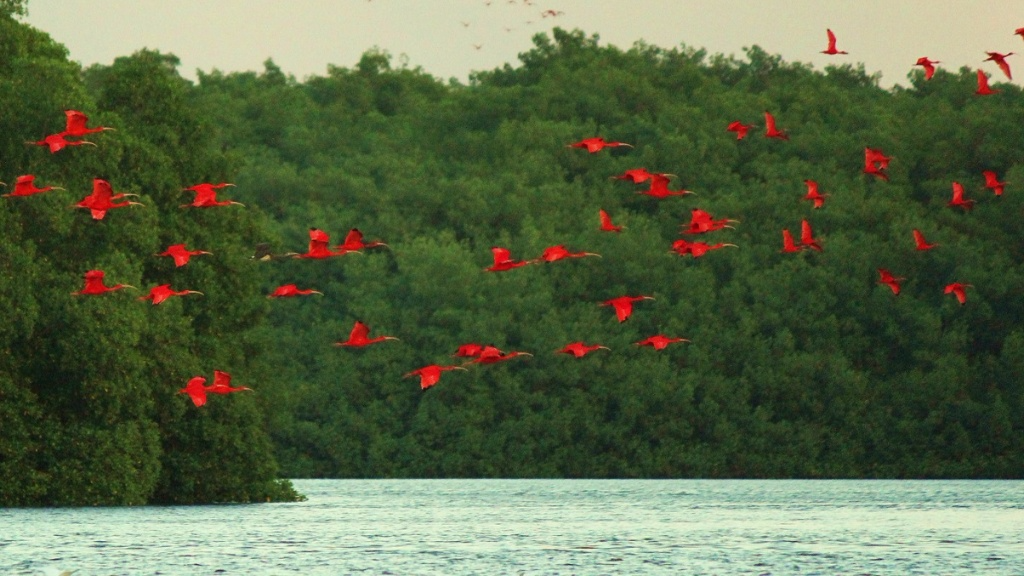 Photo: A flock of Scarlet Ibis birds return to roost in the Caroni Bird Sanctuary. Tour operators have noted the alarming drop in numbers of the country's national bird due to rampant poaching.