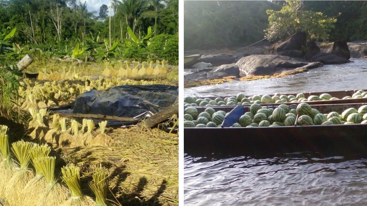 Hooglandrijst, watermeloen, banaan en pomtayer werd de afgelopen dagen geoogst. Foto's: ABOP