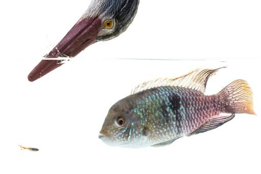 Composition d'images publiée le 25 septembre 2017 par l'université d'Exeter montrant notamment un guppy (petit poisson à gauche)