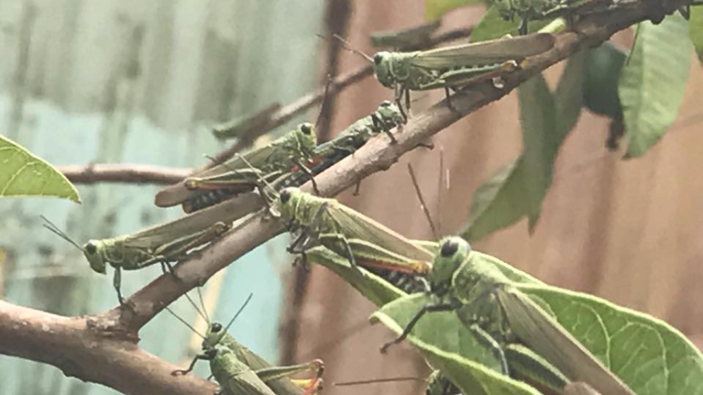 Locusts invade South East Trinidad. Photo via Facebook, Senator Clarence Rambharat
