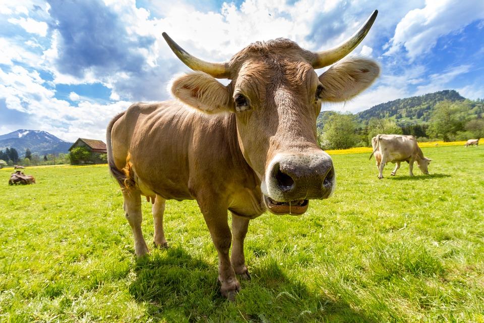 Bij de aanhouding van Radjes, die een bekende van de politie blijkt te zijn, is de koe dood aangetroffen.