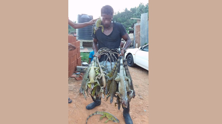 (Photo: This hunter shared a photo to social media in November, and allegedly caught 20 iguanas in the space of half a day.)