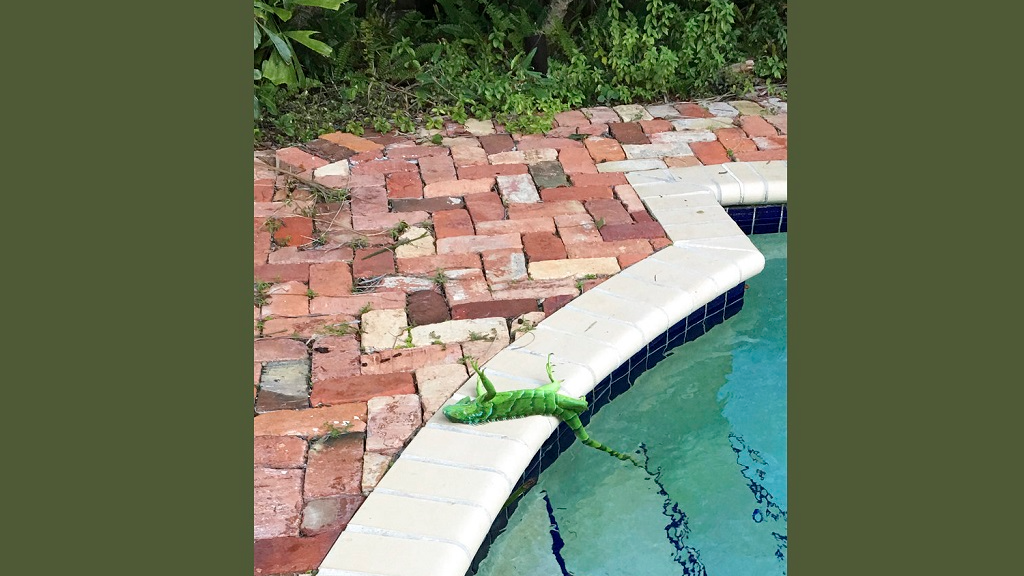 An iguana that froze lies near a pool after falling from a tree in Boca Raton, Fla., Thursday, Jan. 4, 2018. It's so cold in Florida that iguanas are falling from their perches in suburban trees.