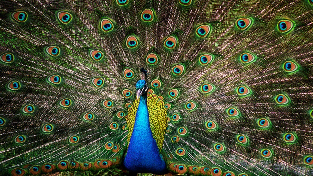 (Peacock image by Mike Boswell via Flickr)