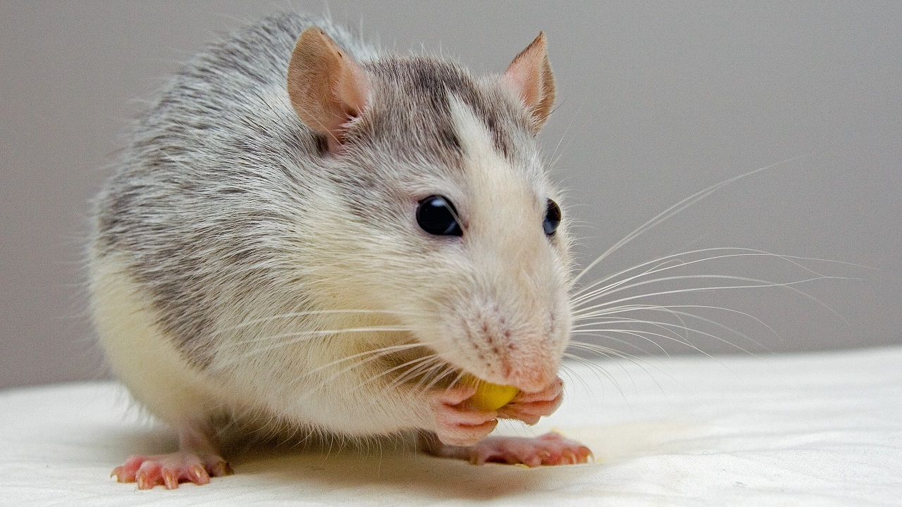 (File image of a mouse via Pexels)
