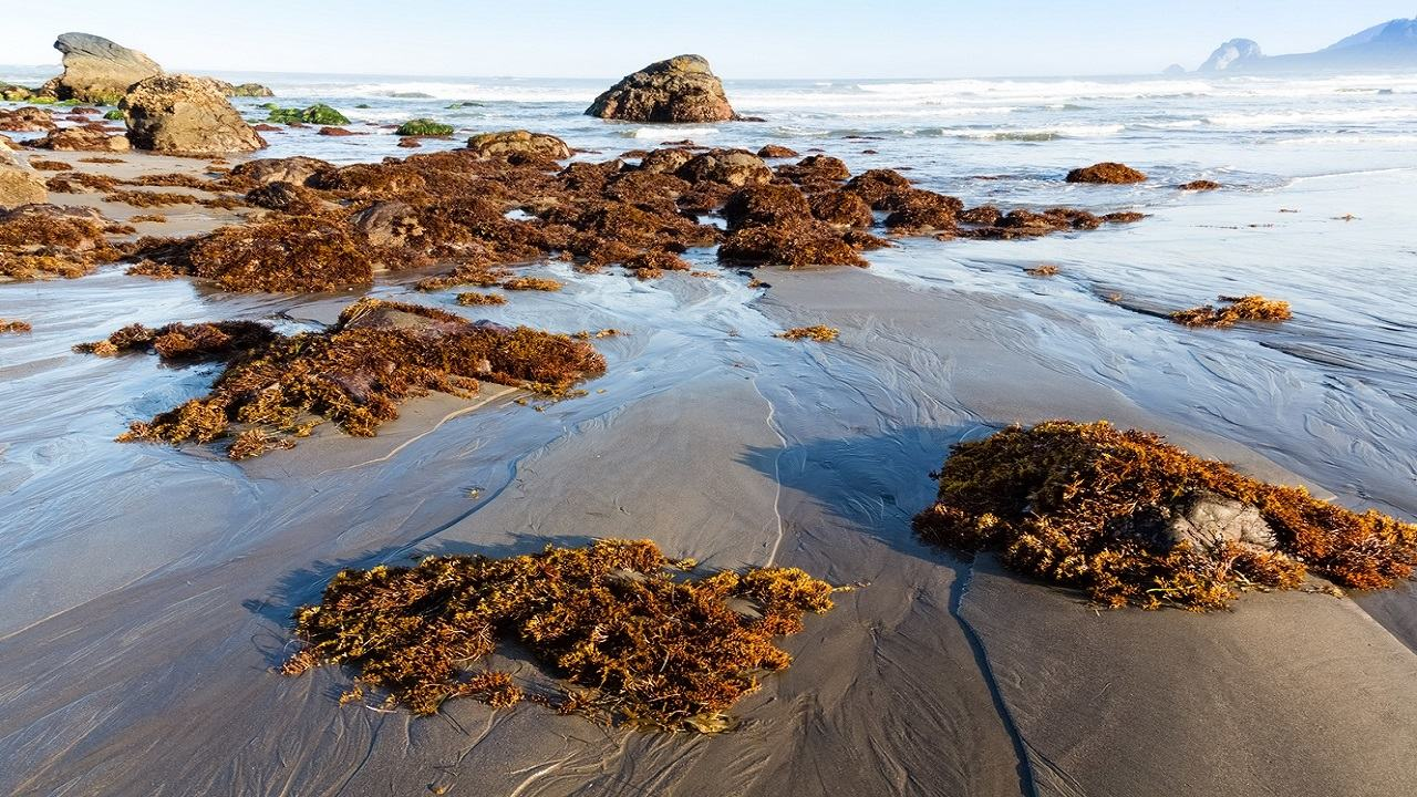 Smelly seaweed to impact Jamaica's beaches in coming months