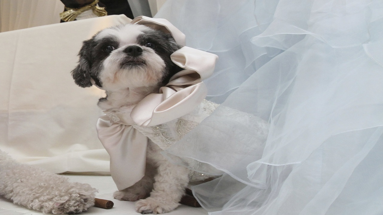 In this July 12, 2012 file photo, Baby Hope Diamond, a Coton de Tulear, appears as a dog bride at a fundraiser in New York that was deemed the world's priciest pet wedding. (Photo AP)