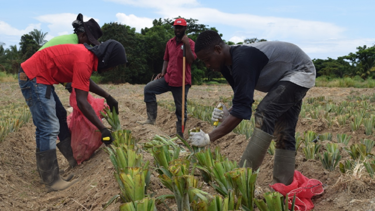 CASE agriculture students planting pineapple suckers on the CASE commercial farm.