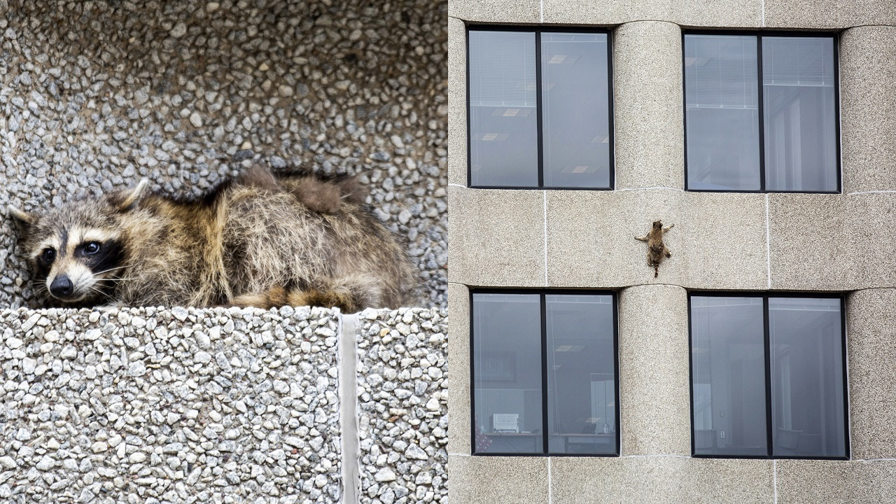 (Images: AP: The raccoon rests on a ledge and (R) scales the building)