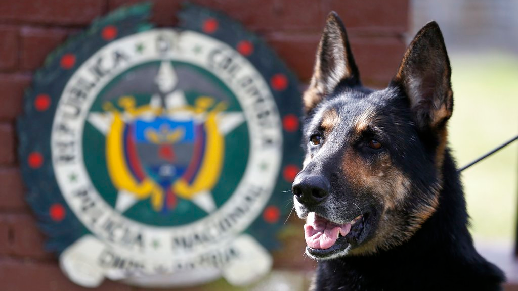 Drug dog Sombra, has helped detect more than 2,000 kilos of cocaine hidden in suitcases, boats and large shipments of fruit, sits outside the police station in Bogota, Colombia, Thursday, July 26, 2018. (AP Photo/Fernando Vergara)