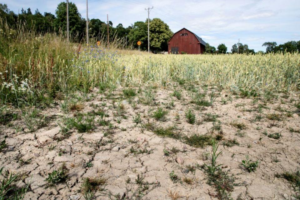 Un champ de blé frappé par la sécheresse à Taby, dans le centre de la Suède, le 9 juillet 2018