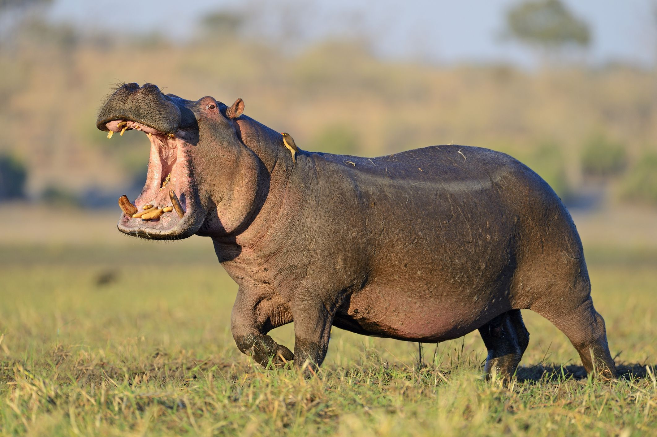 Chinese tourist among two killed in Kenya hippo attacks