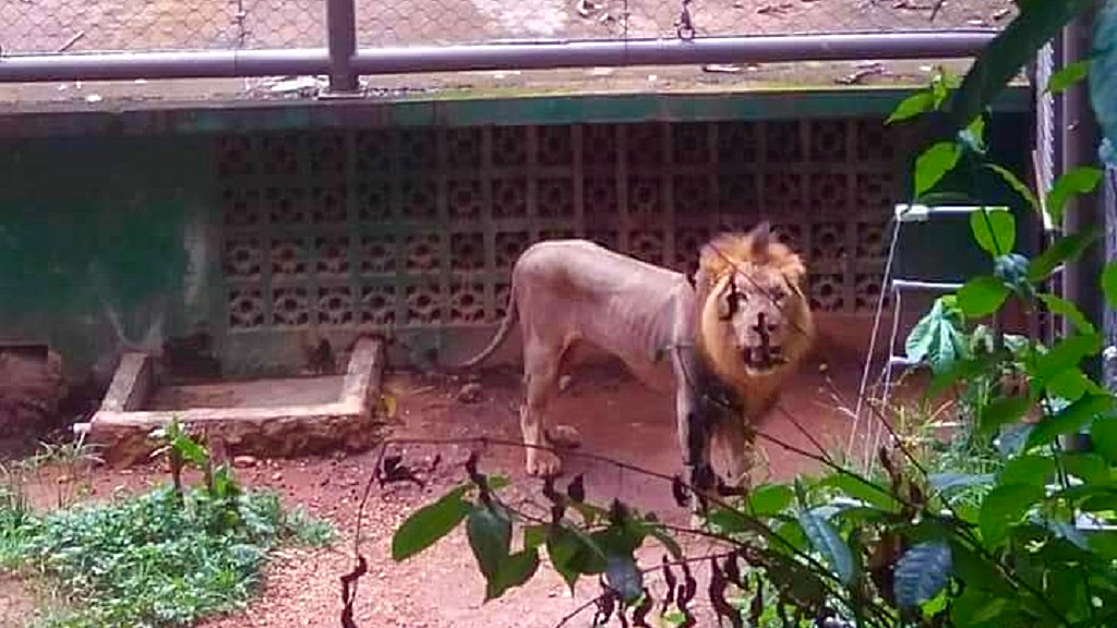 Photo: A photo of an African lion at the Emperor Valley Zoo was shared online on August 1, 2018 over concerns about its health.