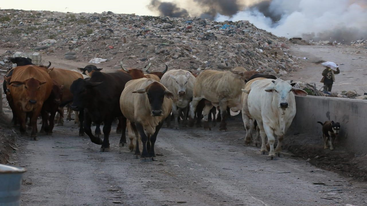 During the most recent fire at the Riverton City dump in St Andrew, stray cattle seeking to avoid the heat of the blaze contributed to the depiction of the site as more of a loosely operated ranch than an official dump. Economic opportunities,  such as a cheap means of rearing animals, have long drawn people to the island's dump sites.