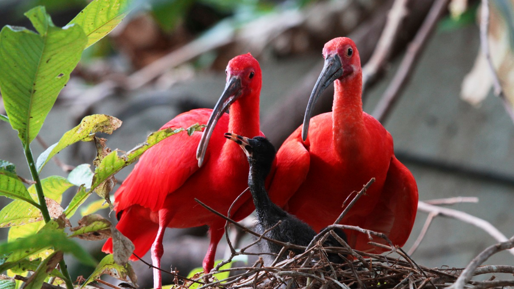 Photo: Trinidad and Tobago's national bird, the Scarlet Ibis, is poached for its meat. The bird has been listed as an Environmentally Sensitive Species, with a $100,000 fine and two-year prison sentence for anyone caught with even a feather in their possession.
