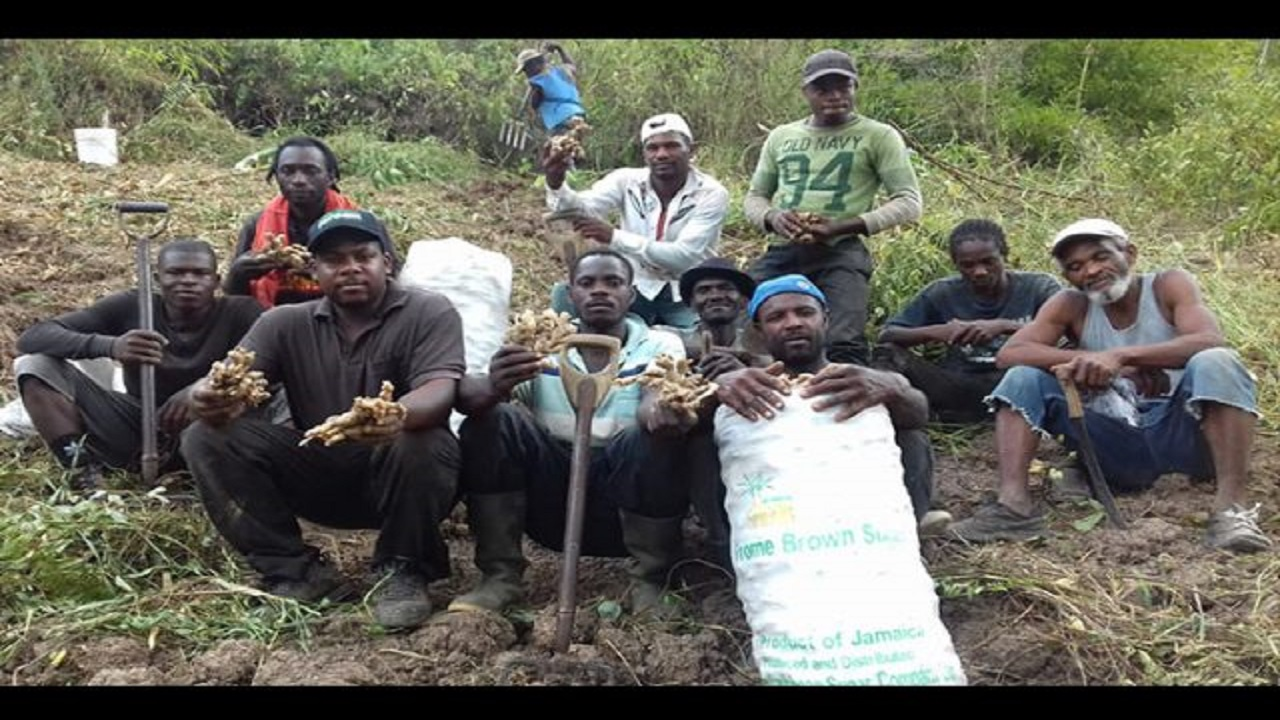 Nicholas Anderson (left, first row) proudly displays some of the 150,000 pounds of ginger he and his workers reaped two weeks ago at his farm in Reckford, Clarendon. Anderson, who employs 18 persons from his and surrounding communities, was named the Young Champion Farmer at the 2018 staging of the Denbigh Agricultural, Industrial and Food Show. He was also crowned Champion Ginger Farmer.