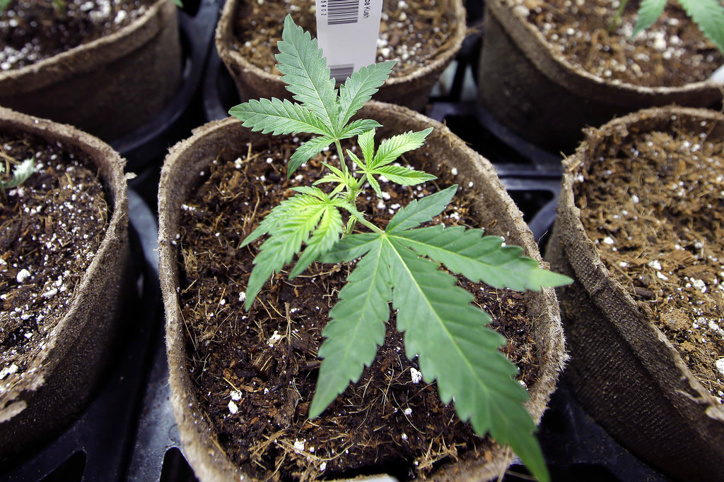 FILE - In this Thursday, July 12, 2018 file photo, a newly-transplanted cannabis cuttings grow in pots at a medical marijuana cultivation facility in Massachusetts. In a report released on Monday, Aug. 27, 2018, researchers at UC San Diego detected marijuana's mind-altering ingredients in breast milk of nursing mothers, raising doctors' concerns amid evidence that increasing numbers of U.S. women are using pot during pregnancy and afterward. (AP Photo/Steven Senne)