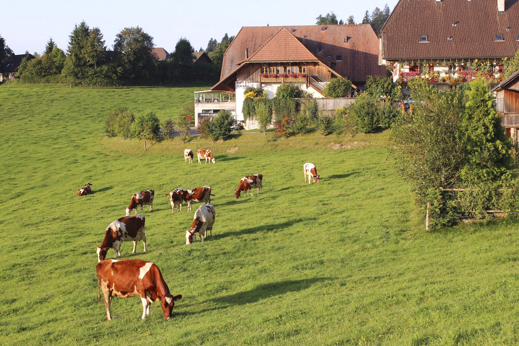 Dairy cows graze on grass in the Emmental region of Switzerland.  (AP Photo/Mark D. Carlson, File)