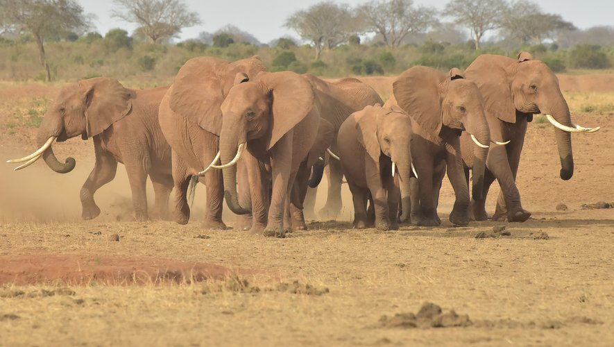 Des éléphants photographiés cet été au Kenya.