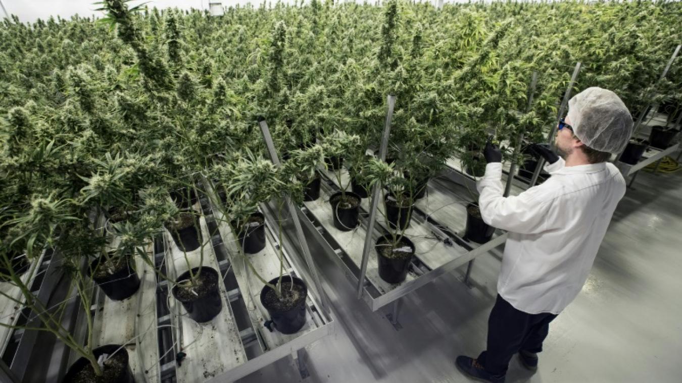 Une employée dans une plantation de cannabis, à Lincoln, Ontario, au Canada, le 12 octobre 2018.