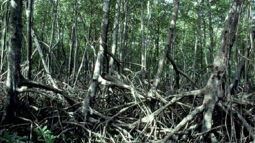 Photo: Mangrove forest in Manzanilla. Photo courtesy the University of the West Indies.