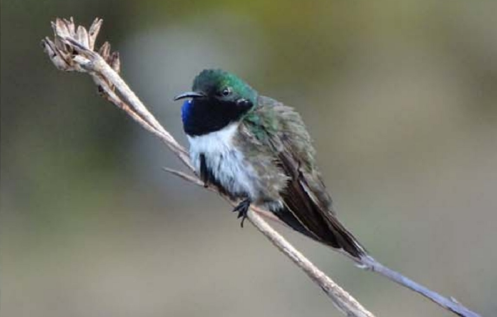 Photo: The Blue-throated Hillstar was discovered in 2017 and is listed as critically endangered. Photo courtesy the American Ornithological Society.