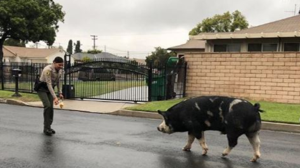 Cops in California say a runaway pig was unable to resist the lure of a hugely popular Frito-Lay snack.