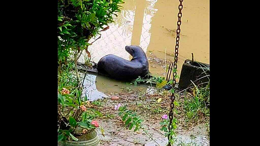 Otter spotted free in Trinidad. (Photo via Facebook)