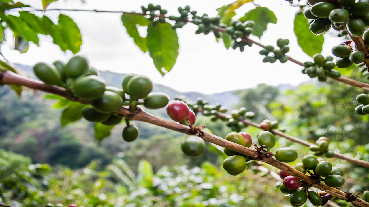 Stock image of a coffee plant.