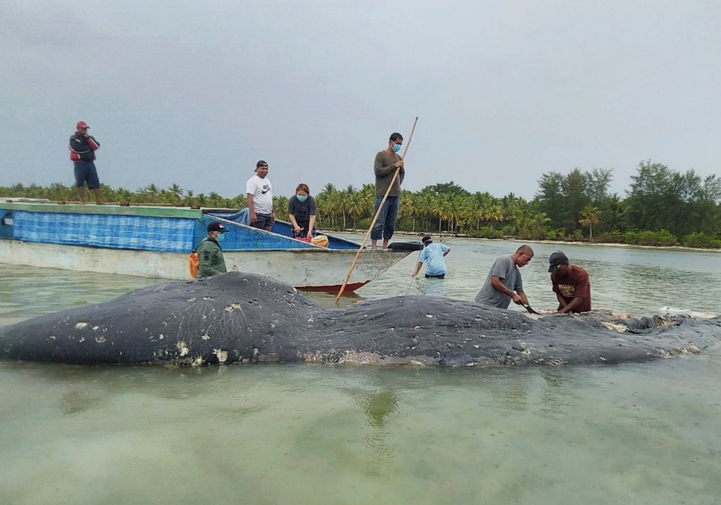In this undated photo released by Akademi Komunitas Kelautan dan Perikanan Wakatobi (Wakatobi Marine and Fisheries Community Academy or AKKP Wakatobi), researchers collect samples from the carcass of a beached whale at Wakatobi National Park in Southeast Sulawesi, Indonesia.