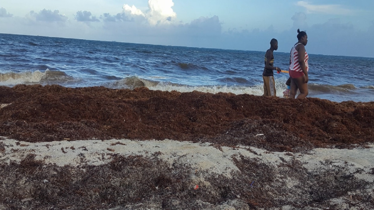 Smelly seaweed to impact Jamaica's beaches in coming months - NEPA