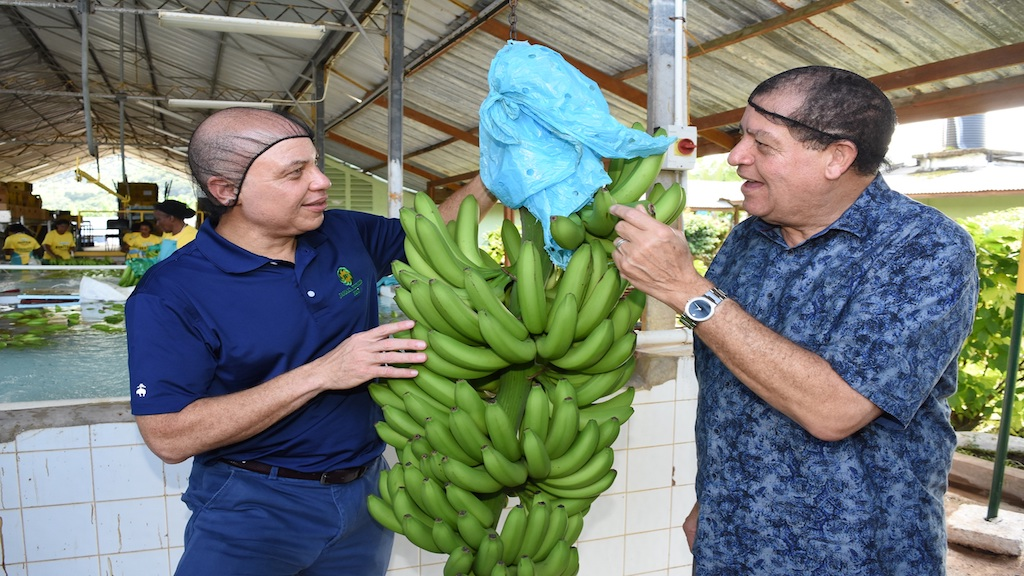 Jeffrey Hall (left), CEO of JP Group and Minister of Industry, Commerce, Agriculture and Fisheries,  Audley Shaw inspect a freshly cut bunch of green bananas in the Polo Common Pack House during the launch of the JP St. Mary's Heritage Project and Farm Tour on Friday, December 14.