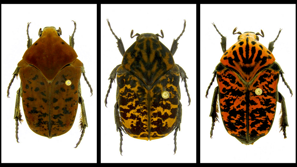 From left, Gymnetis drogoni, Gymnetis rhaegali and Gymnetis viserioni beetles from South America. (Brett Ratcliffe via AP)