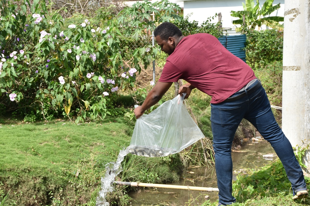 Tilapia fish is an efficient biocontrol agent against mosquito-borne diseases. (Photo contributed)