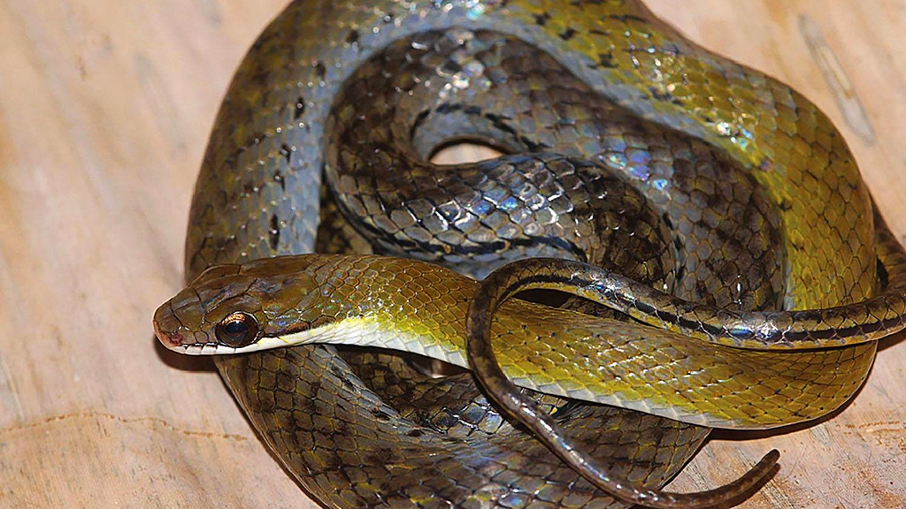 Photo: Erythrolampus pseudoreginae or 'Tobago Stream Snake' (the suggested common English name), was discovered by researchers in Tobago's Main Ridge Forest Reserve. The news was released via a paper published in January 2019. Photo courtesy Zookeys.