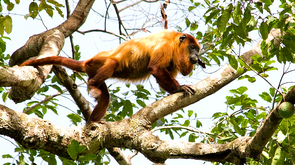 The Guyanan red howler (Alouatta macconnelli) is a species of howler monkey, a type of New World monkey, native to Suriname, Guyana, Trinidad, French Guiana, Venezuela and Brazil. Photo courtesy Wikipedia.