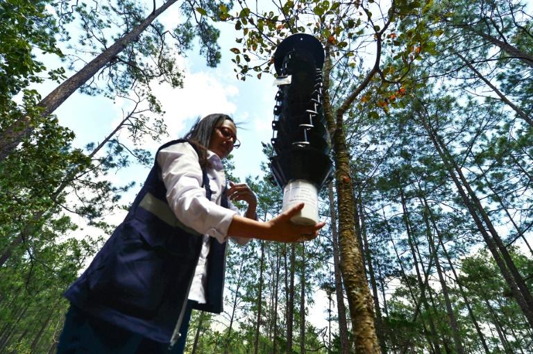 L'agronome Cristel Castro pose des pièges pour mesurer le retour du gorgojo, un insecte ravageur des arbres, dans la forêt de Valle de Angeles, le 9 mars 2019 à l'est de Tegucigalpa, au Honduras