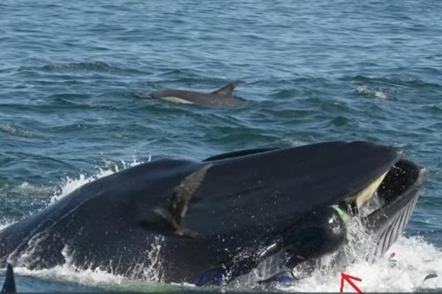 Un plongeur avalé et recraché vivant par… une baleine