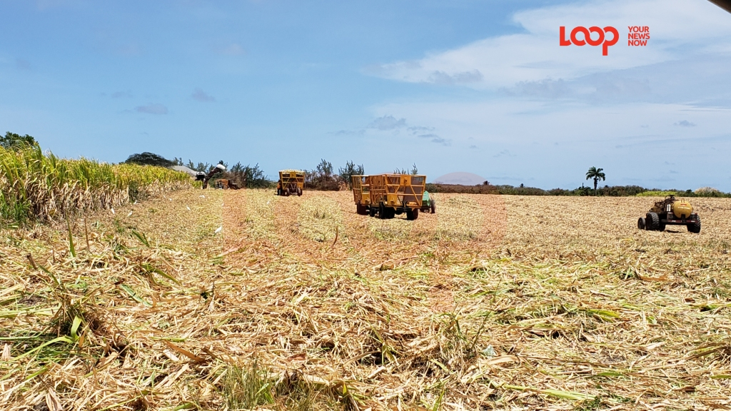 Sugarcane harvesting in St. Philip near Sunbury Plantation.