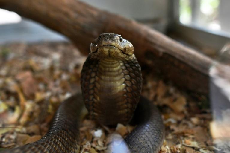 Un cobra cracheur le 14 février 2019 au centre Bio-Ken, à Watamu sur la côte kényane