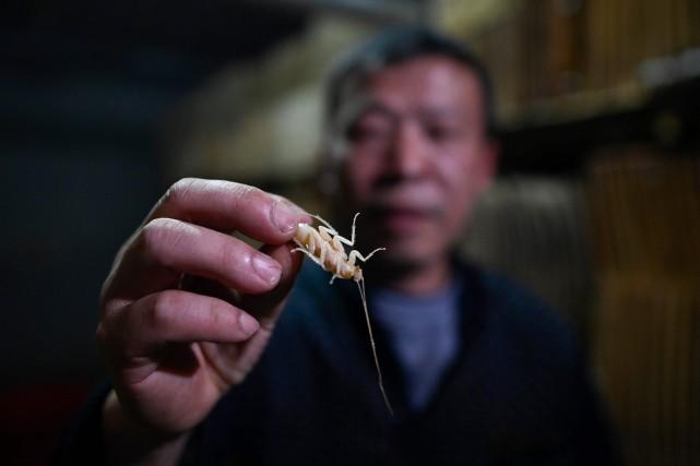 Li Bingcai, agriculteur de la province du Sichuan, bichonne ses créatures à six pattes. PHOTO WANG ZHAO, AGENCE FRANCE-PRESSE