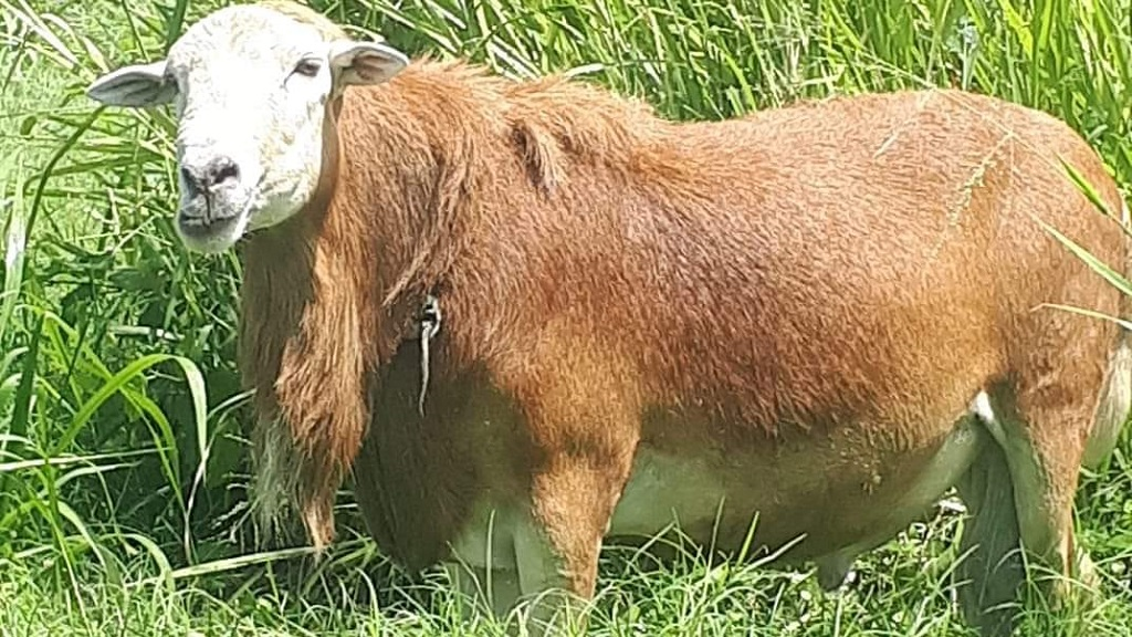 Photo: A Tobago ram was allegedly taken in Tobago. The horns were said to have been removed.